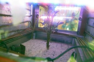 Potato plant grows inside a Mars simulator