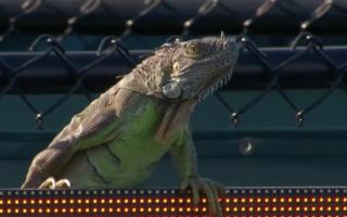 iguana tennis match