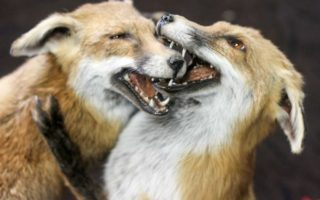 Taxidermy foxes