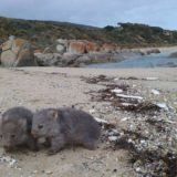 Wombats play on Flinders Island