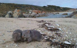 Wombats play on Flinders Island