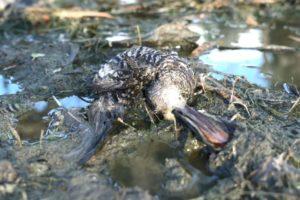 dead duck left by hunters