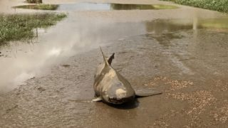 Aggressive bull sharks like to hunt in floodwater, experts say.