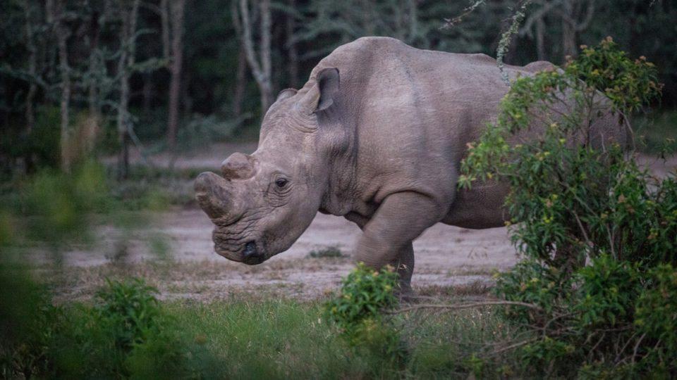 white rhino killed france