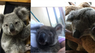 The three joeys were being cared for at a carers house when they were taken.