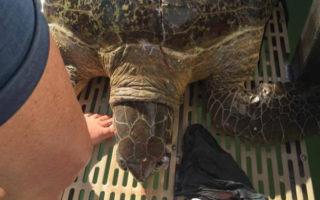 Injured green sea turtle