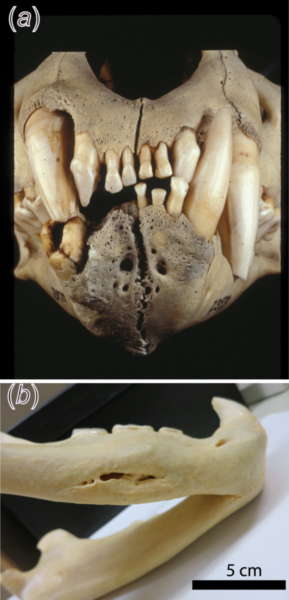Images of the lions' teeth, which show damage inflicted by struggling prey.