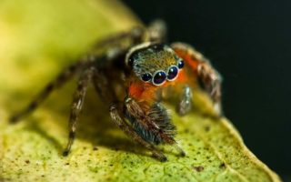 New species of jumping spider