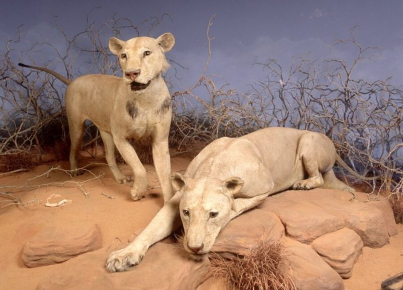 Two Tsavo lion stuffed at Chicago's Field Museum.