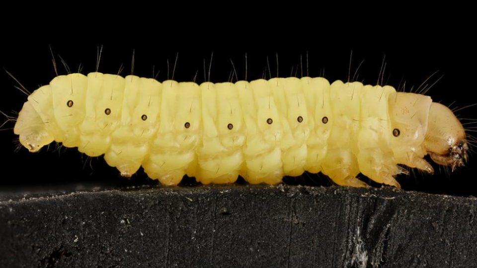 Wax worm
