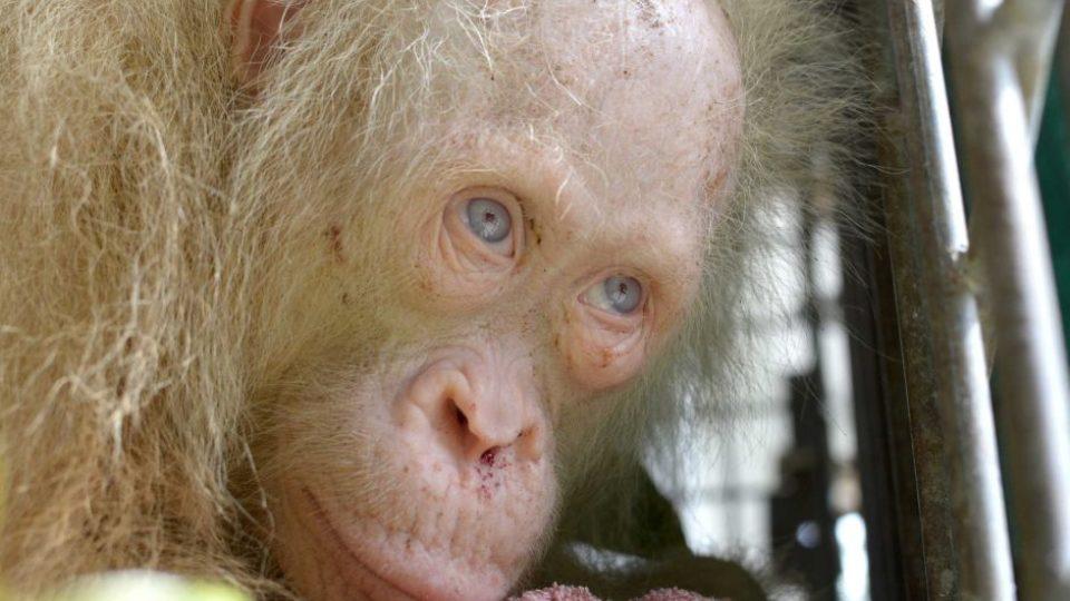 Rare albino orangutan