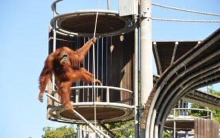 orangutan perth zoo