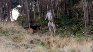 kangaroo v german shepherd