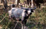 A buffalo stands in scrub