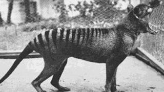 Benjamin, the last thylacine in captivity