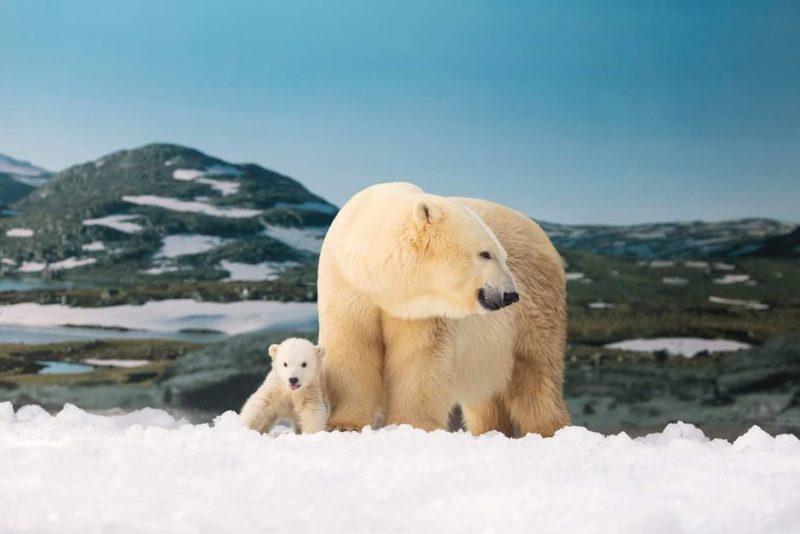 Polar bear cub with her mother Liya at Sea World