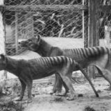 Tasmanian tiger zoo pair