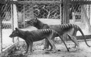 Tasmanian tiger zoo pair