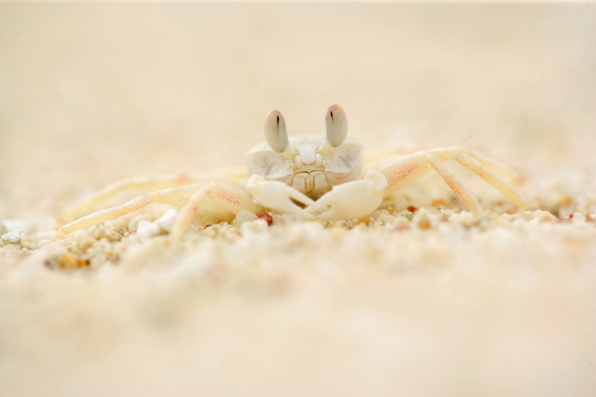 Ghost crabs are crushed and killed by cars that drive along the sand