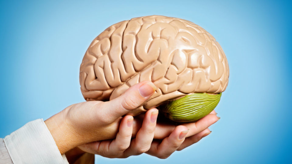 Graceful feminine hands hold anatomical model of human brain