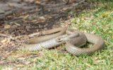 easternbrown snake