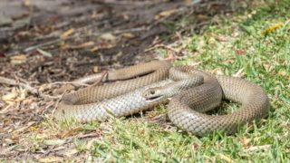 easternbrown snake