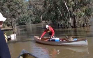 Koala hitches canoe ride
