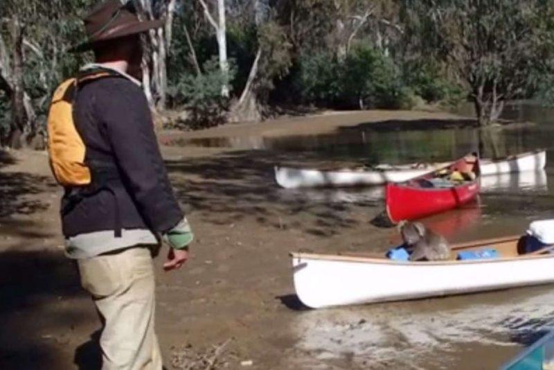 Koala in a canoe