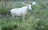white moose sweden