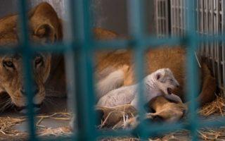 Syria lion rescue
