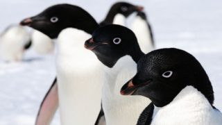 Trio of Adelie penguins