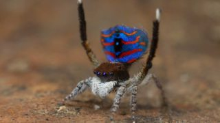 Peacock spiders are found across southern Australia.