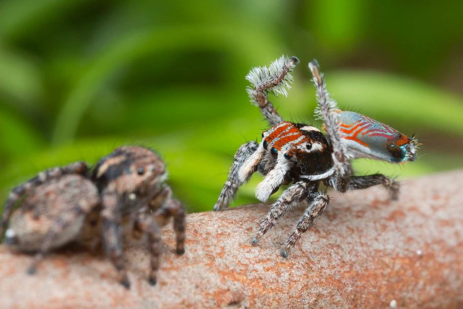 Maratus electricus stands out by its striking pattern of red lines.