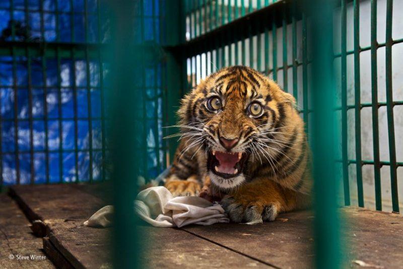 A Sumatran tiger cub in a cage