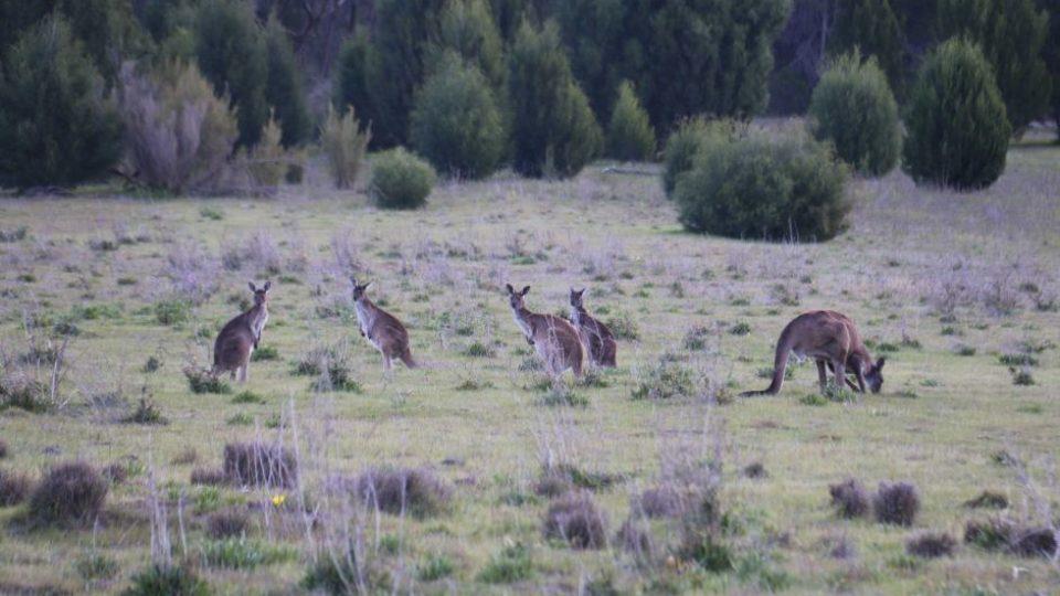 A mob of western grey kangaroos