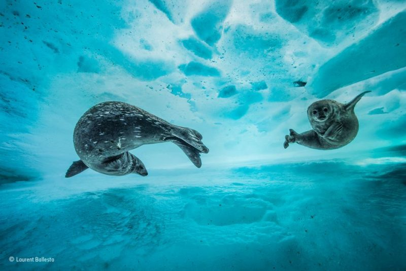 A mother and seal pup in Antarctica