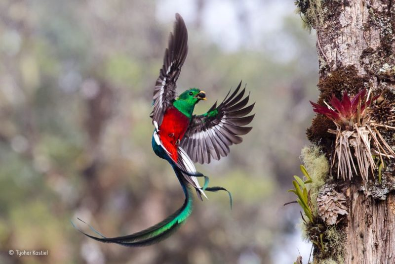 A resplendent quetzal delivers fruit to its chicks