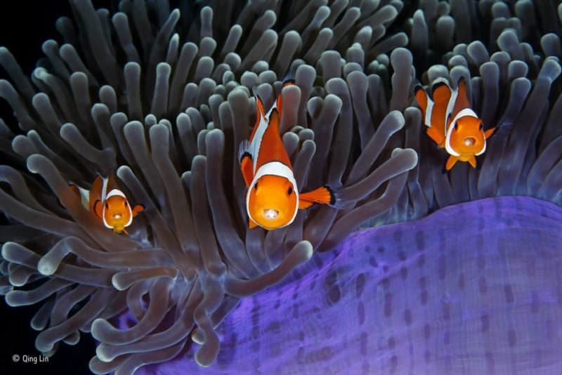 A trio of clownfish with isopods