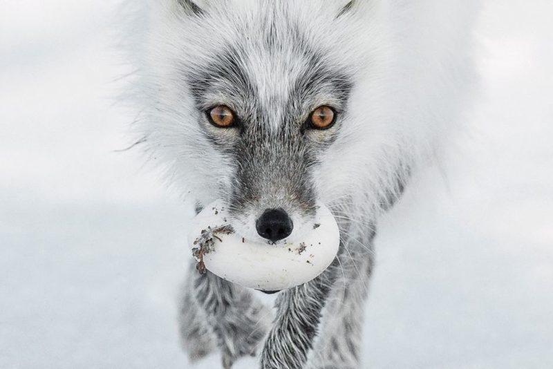 Arctic fox with snow goose egg
