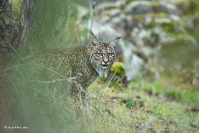 Lynx looks out from behind a bush
