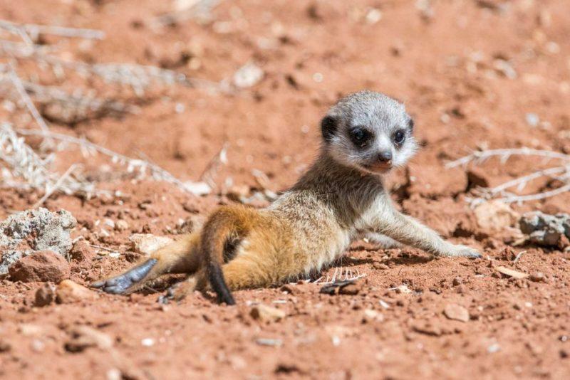 Meerkat pup sunbaking at Monarto Zoo