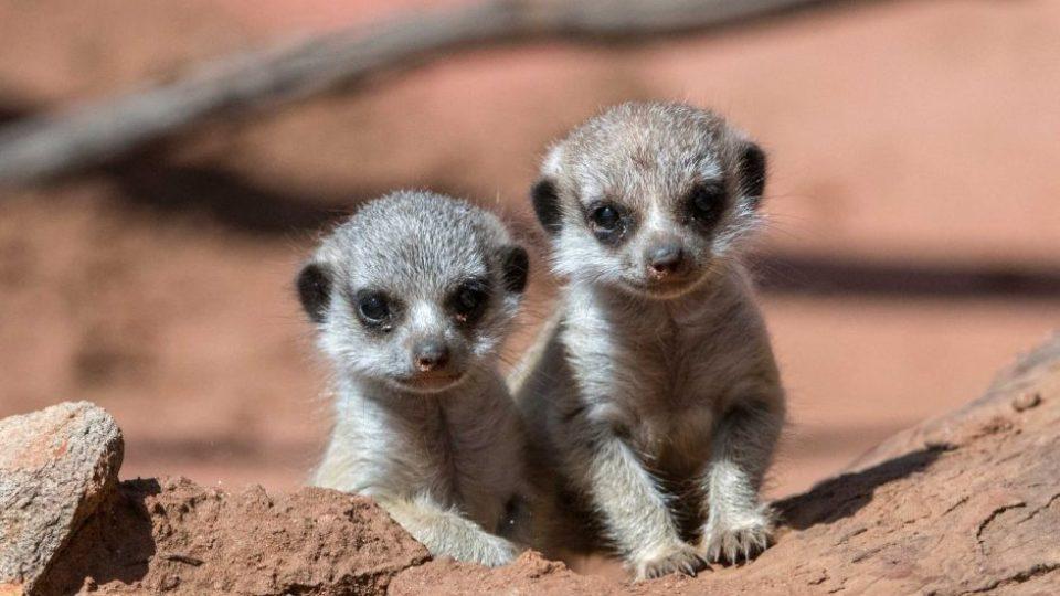 Meerkat pups at Monarto Zoo