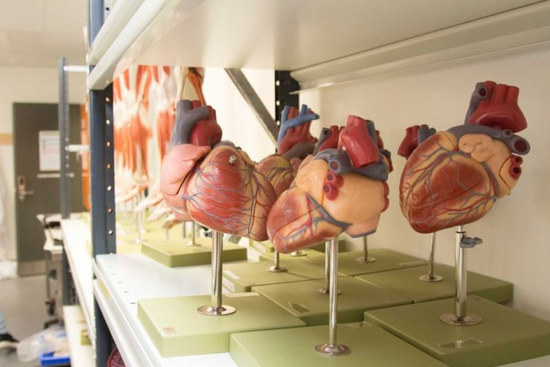 Plastic models of human hearts