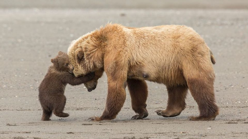 Playful brown bear cub attempts to wrestle its mother