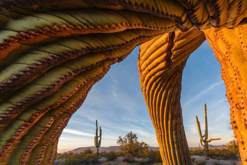 Saguaro cacti in Arizona's Sonoran Desert