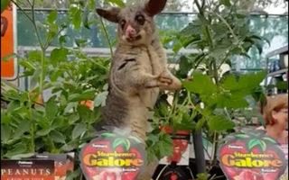 bunnings possum