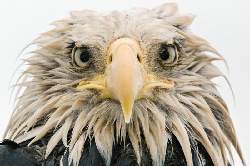 Soaked bald eagle in Alaska