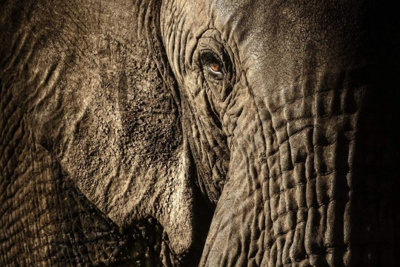 The matriarch of an elephant herd in Kenya