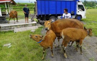 People evacuate their cattle from the village of Selat, about nine kilometres from Mt Agung in Bali.