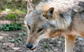 British hiker is killed by wolves in Greece